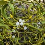 European Mistletoe injections are now offered